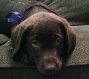 Coco, a 3 month old chocolate lab